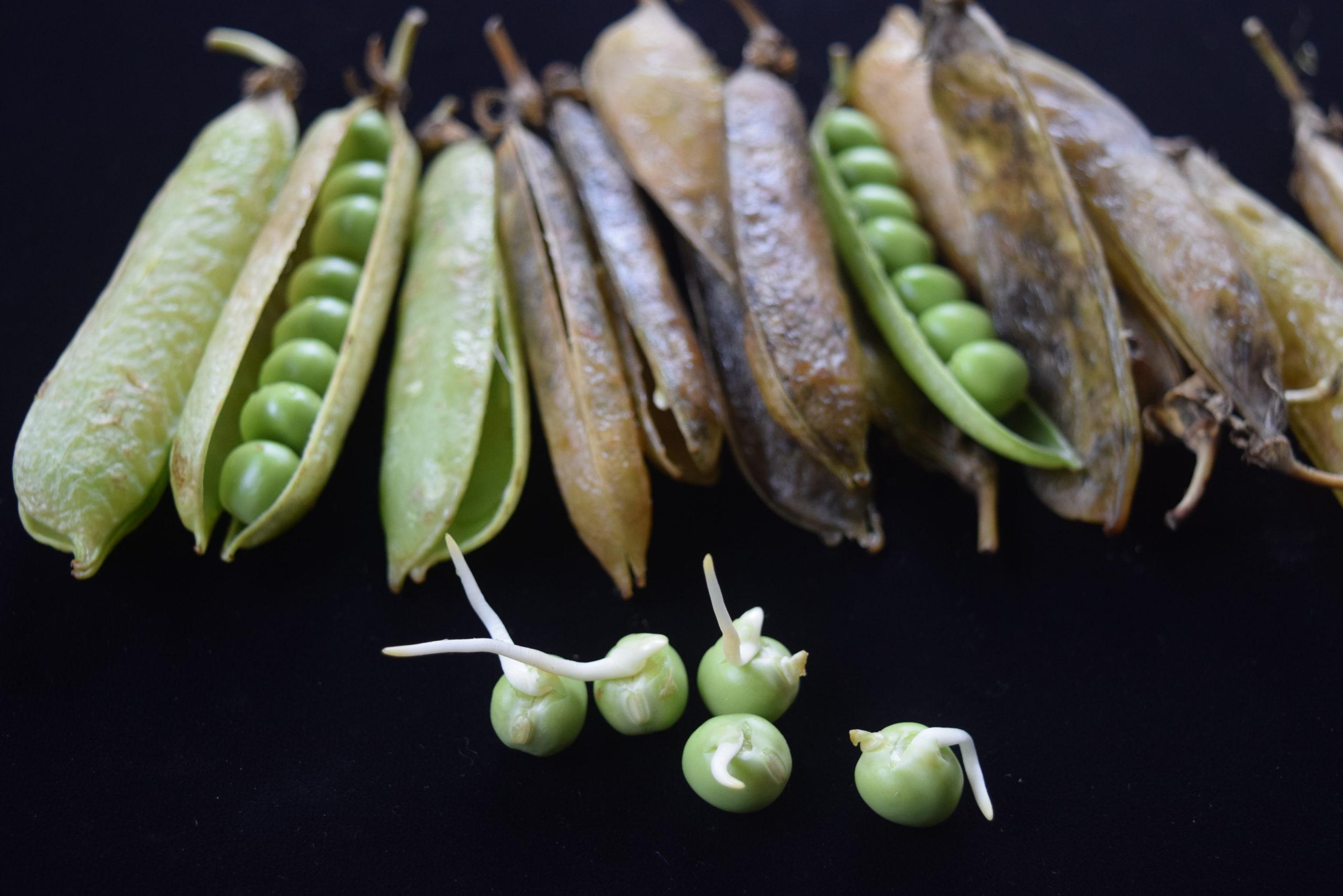 えんどう豆の、姿を撮影してみました。